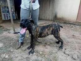 Adolescent pedigree male boerboel for sale