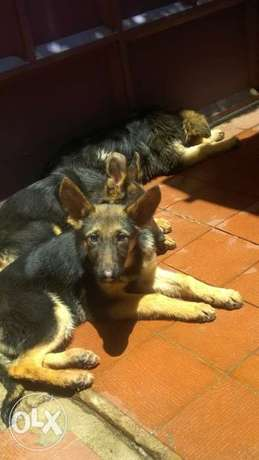 German Shepherd Puppies for sale Woodly - image 1