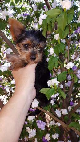 yorkshire terrier pocket puppies Helderberg - image 4