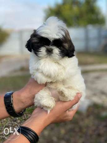 Imported shihtzu puppies from best kennels in Europe