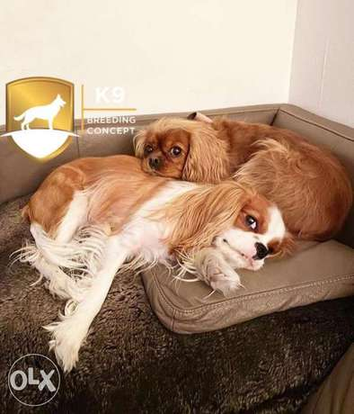 the cavalier king charles imported