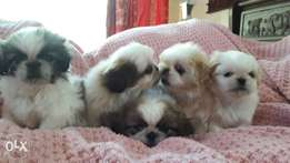 Cheeky miniature pekingese puppies for sale