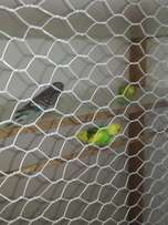 Looking to swop 7 budgies for any other birds