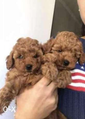 Chocolate toy poodle puppies imported from Ukraine