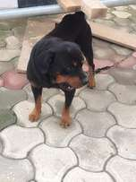 Heavy BOX HEAD Male Rottweiler