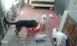 Selling cute dogs father, mother n childre