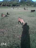 I'm need of farm animals in witbank