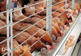 Broilers and old layers for sale