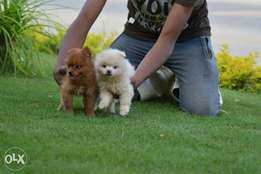 Amazing Pomeranian puppies high qualification