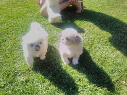 Pekingnese Puppy's for Sale