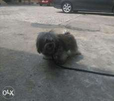 Male Lhasa Apso for crossing