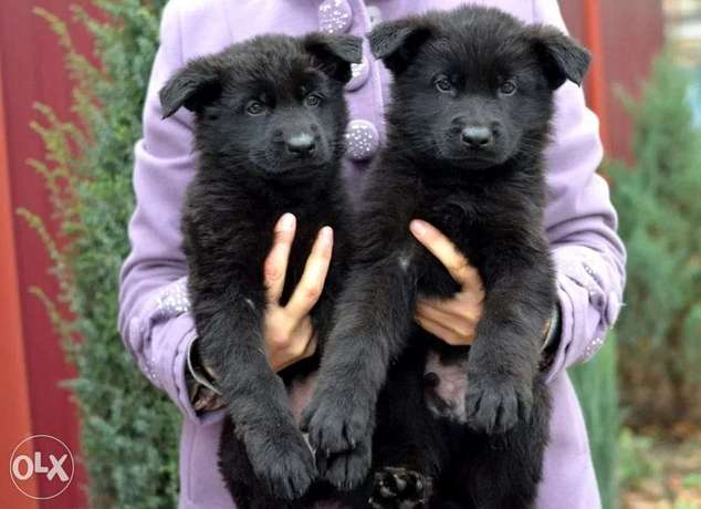 BEST imported Royal Black puppies