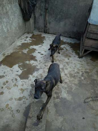 ROTWEILER Half tail dog for sell 10k Parklands - image 3