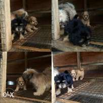 Lhasa Puppies available for sale (male & female)