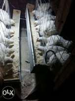 6week old broiler chickens for sale