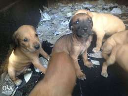 boerboel mix for security