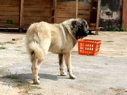 6 Months male pedigree Caucasian for sale