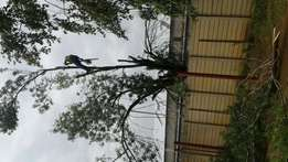 Tree Felling Kriel/ Boomsloping Kriel