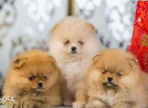 Cutest mini pomeranian puppies with all documents