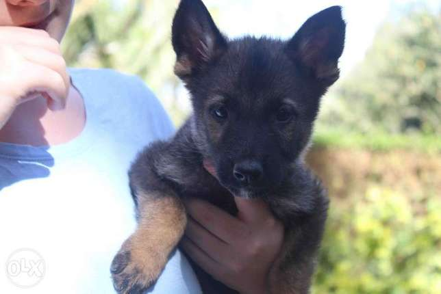 Extremely Rare Dark Sable\ Black German Shepherd pups.Parents imported Kasarani - image 7