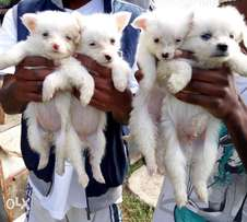 chihuhua puppies for sale