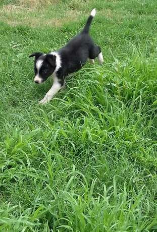 Pure Bred Border Collie Male Puppies Vryburg - image 2