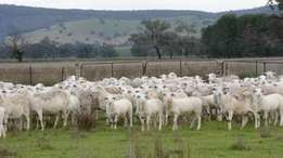 Dorper and Merino sheep Ram Ewes and Lambs for sale