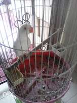 4month old white ringneck for sale with cage and food