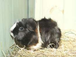 Pretty Healthy Guinea Pigs Available For Sale!!