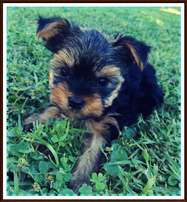 3 Pocket size Yorkies for sale