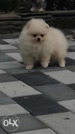 Mini Pomeranian From Ukraine Available Now Fastest Delivery In Egypt