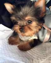 8 weeks old beautiful teacup Yorkie puppies for adoption
