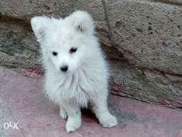 Pure Spitz puppies fully vaccinated