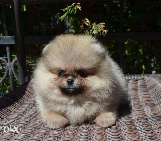 Cream pom puppy's for sale الرياض -  3