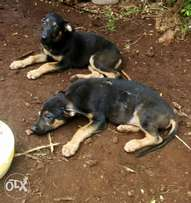 Well Cross breed Germany and rottweiler two months old, MALINDI