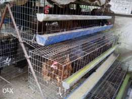 large battery cage 50 layers birds on sale
