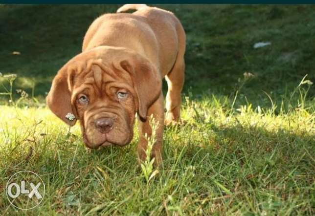 French mastiff puppies imported from Ukraine with Pedigree