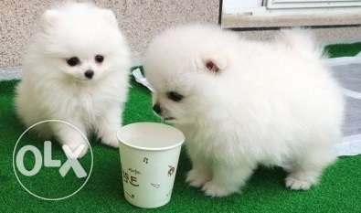 Stunning male and female teacup Pomeranian puppies