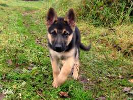 Cute German sherpd pup valentine offer at 9k only