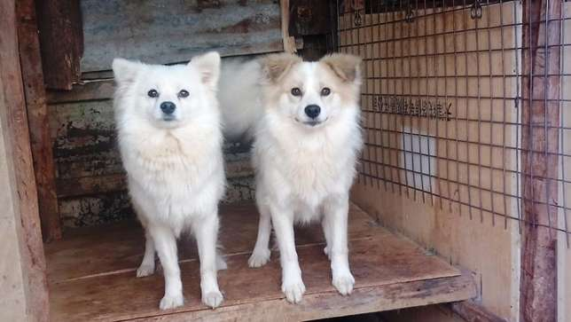 1 year old male Japanese spitz looking for a home Lower Kabete - image 1