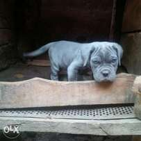 neapo female pup for sale