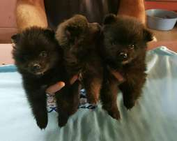 Toypom pups for sale