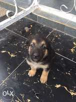 7 weeks old GSD for sale