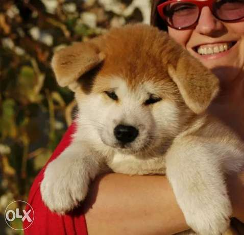 Special Price Japanese Akita Imported From Ukraine