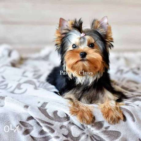 On sale an exclusive Yorkshire Terrier in standard sizes!