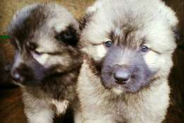 Big bone Caucasian puppies