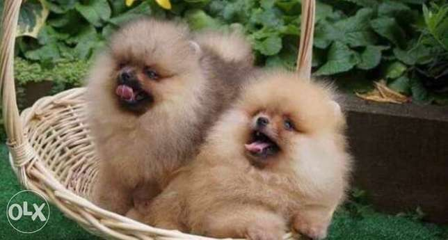 Reserve ur top quality teacup pomeranian puppy, imported with all dcs