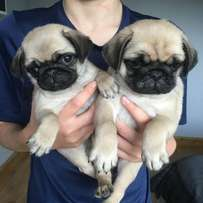 We have 3 Pug puppies for sale