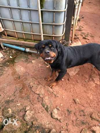 Pedigree Rottweiler puppies available Ugbowo - image 6