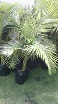 Palm trees and cycads for sale